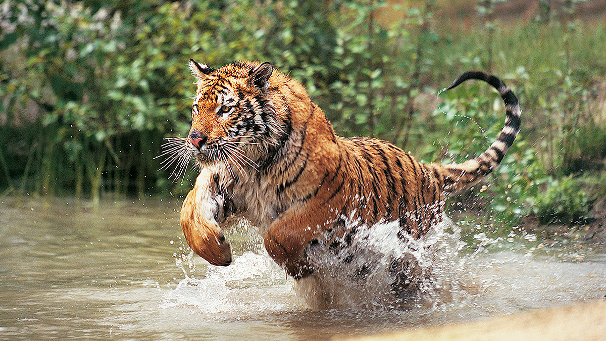 Bengal tiger pounces through water. (Photo credit: Getty Images)