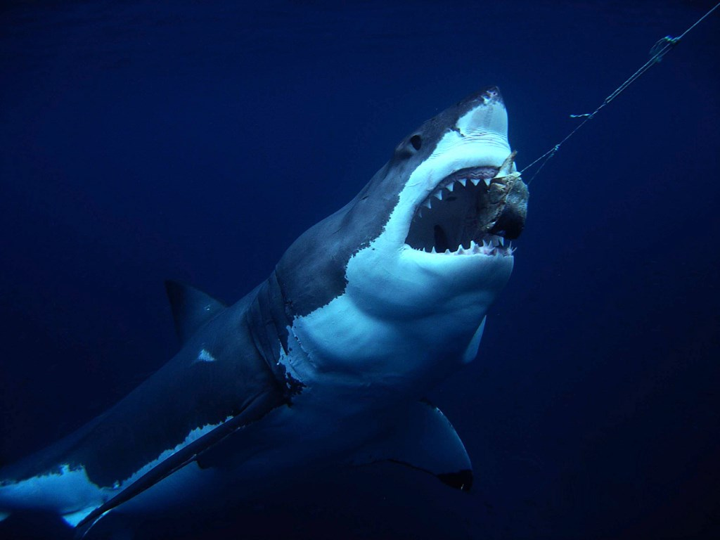 A Great White shark takes the bait.