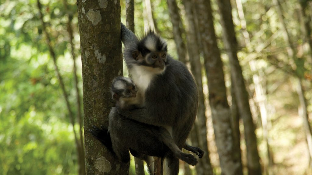 A female Thomas Leaf Monkey in a rubber tree with her young, Northern Sumatra.